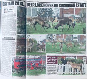 deer herd living in Essex housing estate